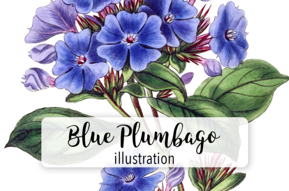 Plumbago Watercolor Gráfico Ilustraciones Por Enliven Designs