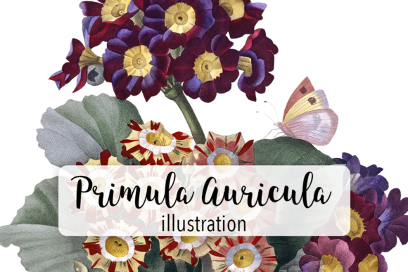 Download Free Primula Auricula Watercolor Flower Graphic By Enliven Designs for Cricut Explore, Silhouette and other cutting machines.