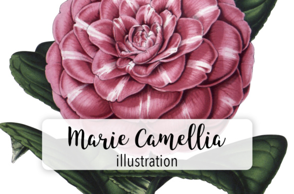 Princess Marie Camellia Watercolor Graphic Illustrations By Enliven Designs