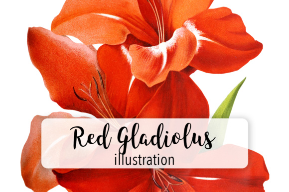 Red Gladiolus Graphic Illustrations By Enliven Designs - Image 1