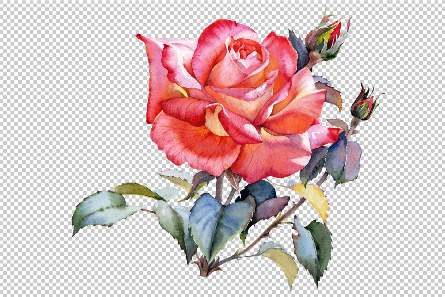red rose realistic png watercolor set graphic by