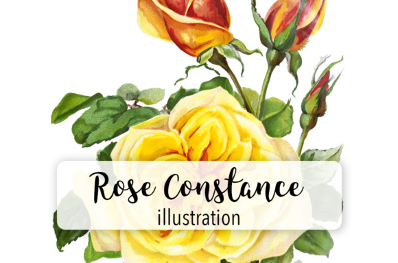 Rose Constance Watercolor Graphic Illustrations By Enliven Designs