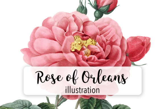 Rose of Orleans Watercolor Graphic Illustrations By Enliven Designs