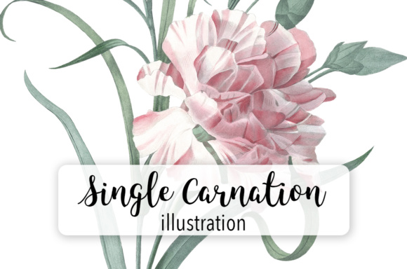 Single Carnation Watercolor Graphic Illustrations By Enliven Designs