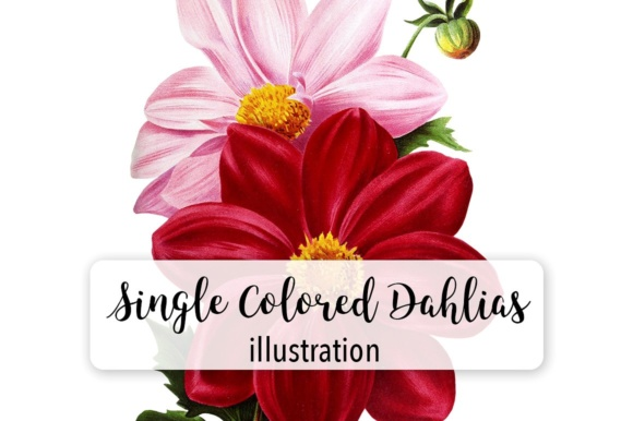 Single Colored Dahlia Watercolor Graphic Illustrations By Enliven Designs