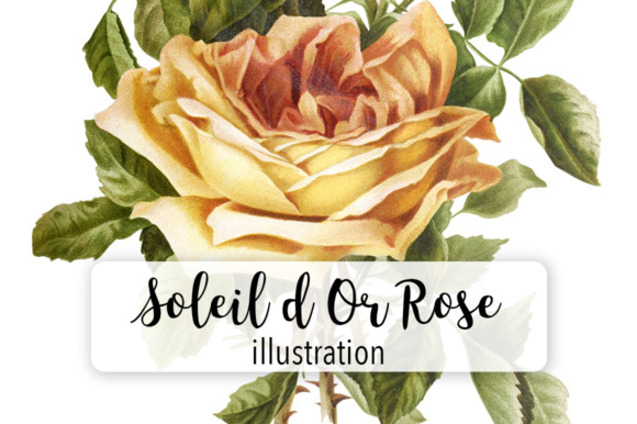 Soleil D or Rose Watercolor Graphic Illustrations By Enliven Designs