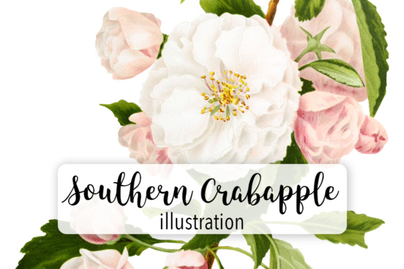 Southern Crabapple Graphic Illustrations By Enliven Designs