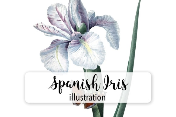 Spanish Iris Watercolor Graphic Illustrations By Enliven Designs