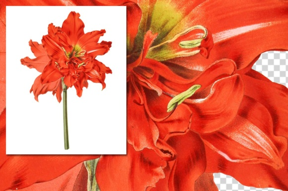 Striped Tubed Amaryllis Watercolor Graphic Illustrations By Enliven Designs - Image 3