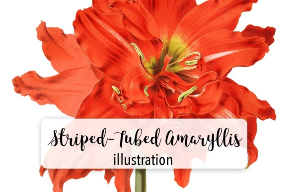 Striped Tubed Amaryllis Watercolor Graphic Illustrations By Enliven Designs