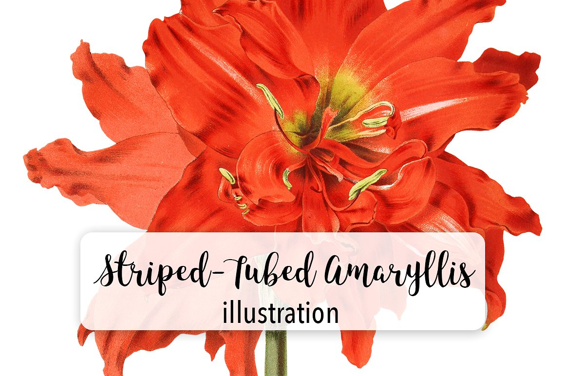 Download Free Striped Tubed Amaryllis Watercolor Graphic By Enliven Designs for Cricut Explore, Silhouette and other cutting machines.