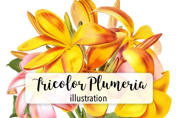 Tricolor Plumeria Watercolor Graphic Illustrations By Enliven Designs