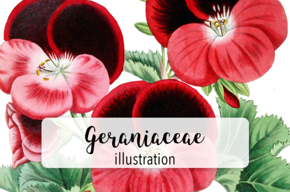 Watercolor Geraniaceae Flower Graphic Illustrations By Enliven Designs