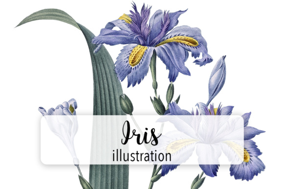 Watercolor Iris Graphic Illustrations By Enliven Designs