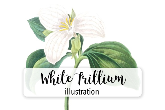 White Trillium Watercolor Graphic Illustrations By Enliven Designs