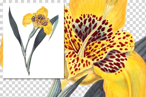 Yellow Flowered Tigridia Graphic Illustrations By Enliven Designs - Image 3