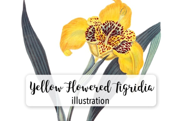 Yellow Flowered Tigridia Graphic Illustrations By Enliven Designs - Image 1