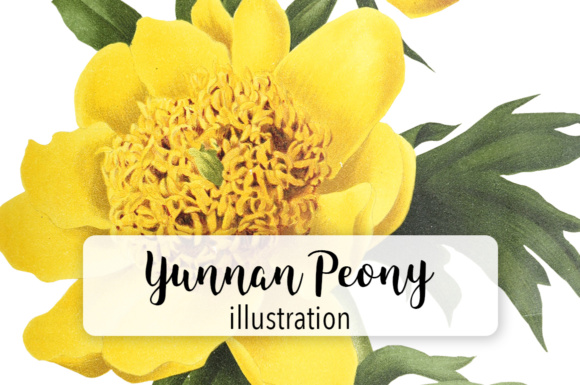 Yunnan Peony Graphic By Enliven Designs
