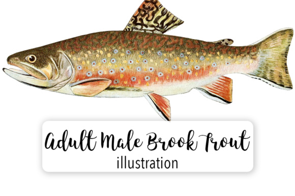 Adult Male Brook Trout Salvelinus Fontinalis Watercolor Graphic Illustrations By Enliven Designs
