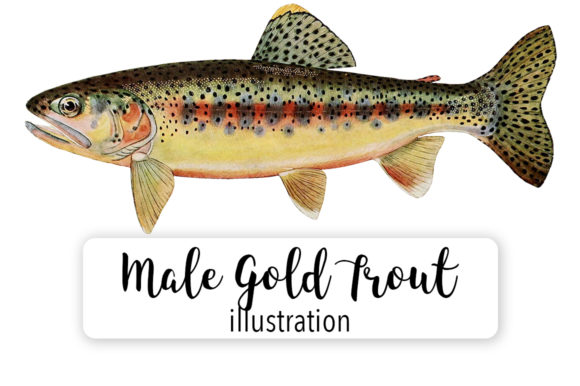 Adult Male Gold Trout of Soda Creek Watercolor Graphic Illustrations By Enliven Designs
