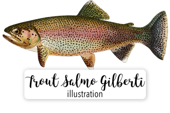 Adult Male Golden Trout Salmo Gilberti Watercolor Graphic Illustrations By Enliven Designs