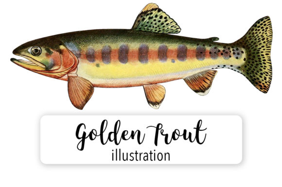 Adult Male Golden Trout of Volcano Creek Watercolor Graphic Illustrations By Enliven Designs