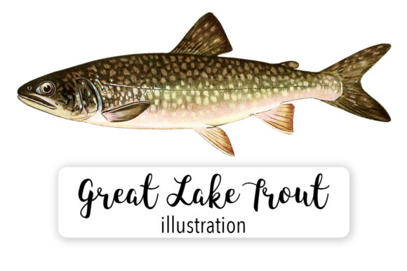 Adult Male Great Lake Trout Watercolor Graphic Illustrations By Enliven Designs