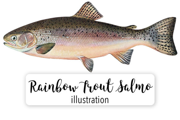 Adult Male Rainbow Trout Salmo Irideus Watercolor Graphic Illustrations By Enliven Designs