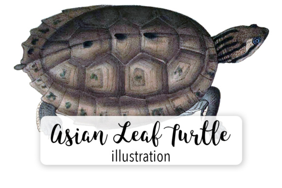 Asian Leaf Turtle Watercolor Graphic Illustrations By Enliven Designs