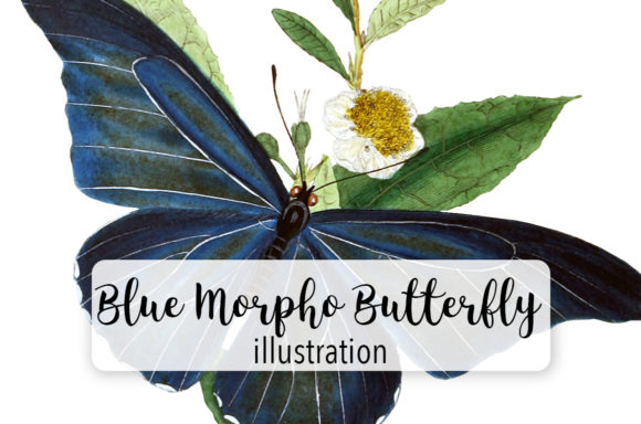 Blue Morpho Butterfly Watercolor Graphic Illustrations By Enliven Designs