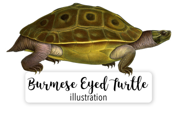 Burmese Eyed Turtle Watercolor Graphic Illustrations By Enliven Designs