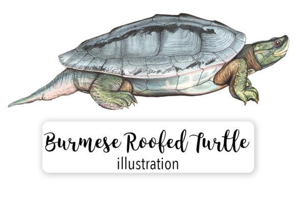 Burmese Roofed Male Turtle Watercolor Graphic By Enliven Designs