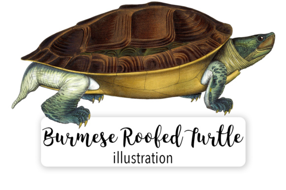 Burmese Roofed Turtle Watercolor Graphic Illustrations By Enliven Designs