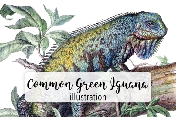 Common Green Iguana Graphic Illustrations By Enliven Designs