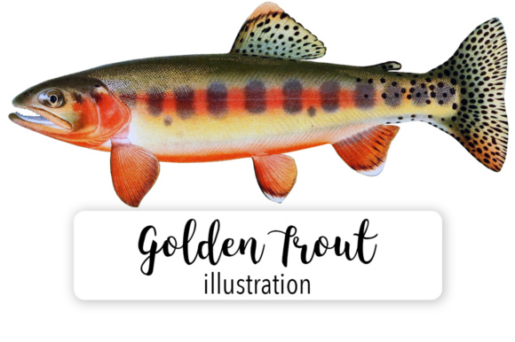 Golden Trout Watercolor Graphic Illustrations By Enliven Designs