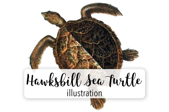 Hawksbill Sea Turtle Watercolor Graphic Illustrations By Enliven Designs