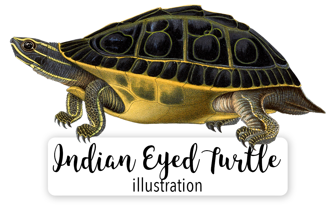 Download Free Indian Eyed Turtle Watercolor Grafik Von Enliven Designs for Cricut Explore, Silhouette and other cutting machines.