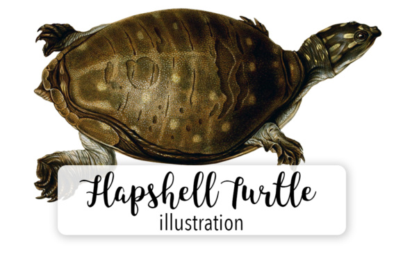 Indian Flapshell Turtle Gráfico Ilustraciones Por Enliven Designs