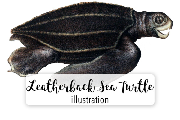 Leatherback Sea Turtle Gráfico Ilustraciones Por Enliven Designs