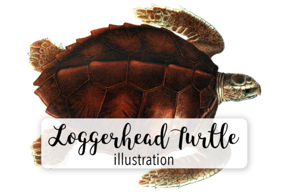 Loggerhead Turtle Watercolor Graphic Illustrations By Enliven Designs