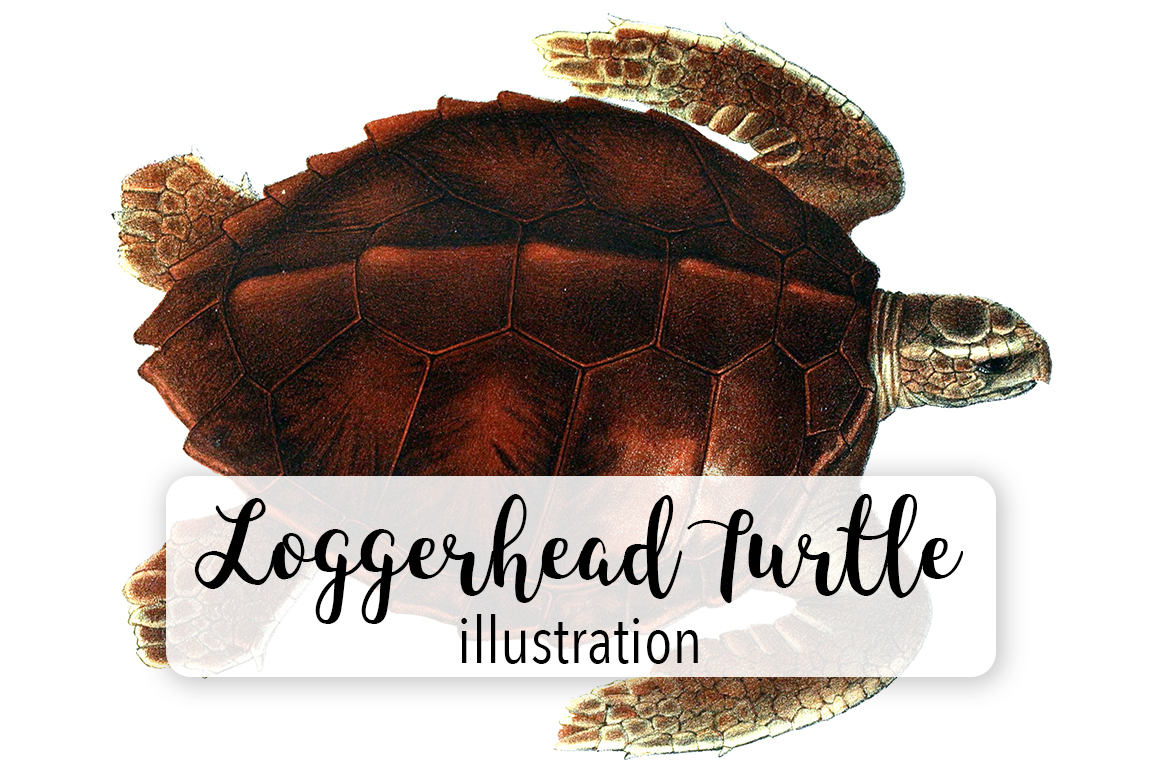 Download Free Loggerhead Turtle Watercolor Graphic By Enliven Designs for Cricut Explore, Silhouette and other cutting machines.