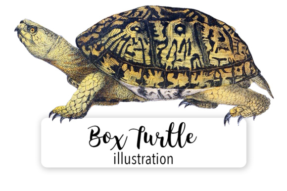 North American Box Turtle Watercolor Graphic Illustrations By Enliven Designs
