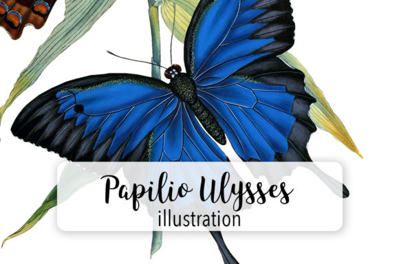 Papilio Ulysses Butterfly Watercolor Grafik Illustrationen von Enliven Designs