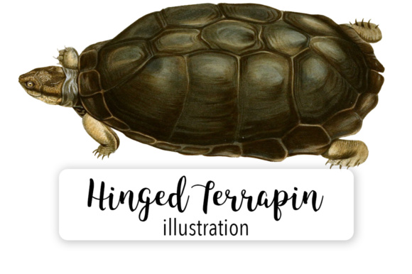 Serrated Hinged Terrapin Graphic Illustrations By Enliven Designs