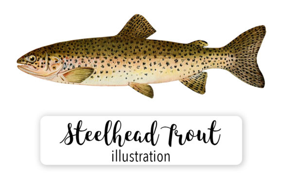 Steelhead Trout Salmo Rivularis Watercolor Graphic Illustrations By Enliven Designs