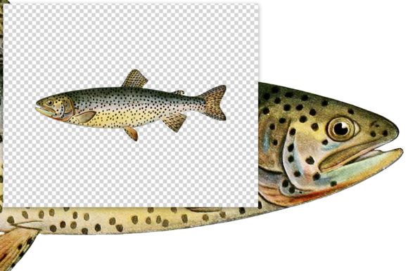 Tahoe Trout Salmo Henshawi Graphic Illustrations By Enliven Designs