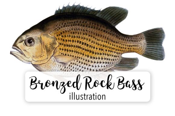 Bronzed Rock Bass Fish Watercolor Svg Graphic Illustrations By Enliven Designs