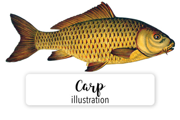Carp Watercolor Graphic Illustrations By Enliven Designs