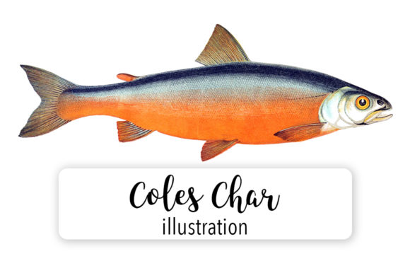 Char Fish Watercolor Graphic Illustrations By Enliven Designs