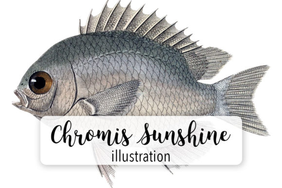 Olive Chromis Sunshine Fish Watercolor Svg Graphic Illustrations By Enliven Designs